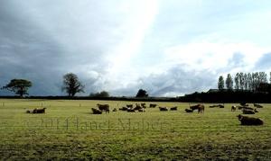 ©2014 Janet Maher, Clonan Cows